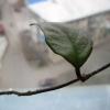Допоможіть визначити вид рододендрона.не листопадний, лист гладкій.см. Фото