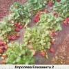 6 Кращих ремонтантних сортів суниці садової, характеристики