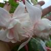 Як змусити цвісти гиппеаструм?