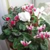 Подарували такий цікавий квітка, антуріум називаеться .. Що розкажіть про нього?