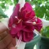 Що робити після цвітіння амариліса?