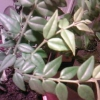 Допоможіть визначити вид агави. Бажано на латині. Заздалегідь дякую!