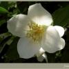 А квітка жасмину завжди гарний? Що він означає на мові квітів?