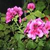 А квіти у хойи і стефанотис схожі