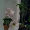 Як мені зробити красивіше різдвяні композиції з квітів або прикрасити амариліси в