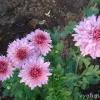 Чи можна тримати вдома квітка хойя (воскової плющ)?