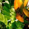 Правда, що ананас можна посадити? І чого зросте?