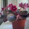 А я просто хочу похвалитися - я домоглася цвітіння каланхое! Подобається вам?