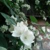 Чому бегонія не цвіте?