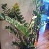 Чи може рости спатифиллум в звичайній квартирі