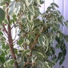 Бальзамін - цвітіння