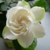 Чи треба викопувати на зиму нарциси, якщо вони прекрасно цвітуть щороку?