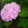 Чому спатифиллум не цвіте, листя повно а квіток немає
