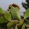 Гортензія - морозостійка рослина чи ні? Як за ним доглядати?