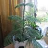 А хто садив як я лілії навесні?