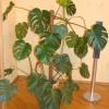 Цикламен перський отцвёл, скинув листя і цвет.что робити далі?