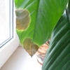 У кого вдома росте араукарія?