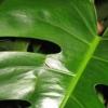 Як укласти глоксинії в сплячку, листя у них ще зелені, але відцвіли давно