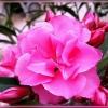 Наскільки отруйний квітка олеандр. Чи можна його тримати в домашніх умовах?