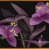 Моя традесканція з фіолетовими листям! Як називається вид