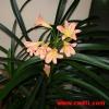 Купила орхідею фаленопсис, у неї коріння з горщика назовні, це нормально? Пересаджувати?