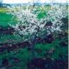 Абрикос, різновиди абрикоса, чорний абрикос