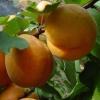 Абрикос в сибіру,   його особливості та умови вирощування