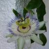 У кого-небудь цвіла пасифлора, вирощена з насіння?