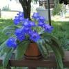 Посіяв насіння абутилона різнобарвного, розкажіть про ваші абутилона, як вони цвітуть і