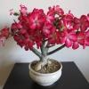 Адениум - красива рослина?