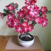 Кущові хризантеми на яке місце краще висаджувати і коли? Як вони зиму переносять?