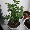 Чи реально виростити абутилон з насіння?