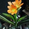 Вчора у бабусі купила листочок бегонії, а як називається різновид не спитав (.помогіте!