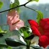 Подарували квітка афеландра-цвіте, чи можна її пересадити? Коріння вже наруже