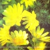 Адоніс (горицвіт) весняний, опис, фото, його лікувальні властивості, застосування в народній медицині