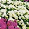 Агератум: вирощування з насіння, посадка і зимівля