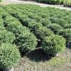 Агротехнічні прийоми вирощування їли нідіформіс
