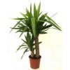 Акація? Або що це за рослина?