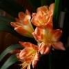 У примули розпускаються квіти ось такі! Може щось не вистачає їй?