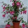 Диффенбахію можна вдома садити або це офісне рослина?