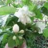 Чому квіти акації, які продають всюди в лютому - березні, все називають мемозам?