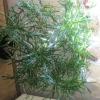 У мене пальма пахира акватика і у не (на стовбурі і з землі) почали рости гриби. Що це?