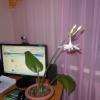 Як виглядає квітуча хризантема?