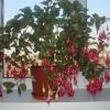 Гібіскус і китайська троянда-є різниця?