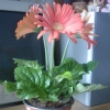 Купила антуріум півроку тому варто в одній порі квітки так і не почервоніли, стоять і ось один
