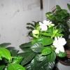 Рослина аглаонема