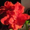 Пахира. Пересадила (перевалила) рослина