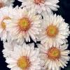 Які сорти хризантеми і жоржини? Чим відрізняються вони один від одного?