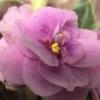 У кого цвітуть сенполії? Покажіть!