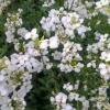 Арабіс альпійський - легкий у догляді, красивий у дворі